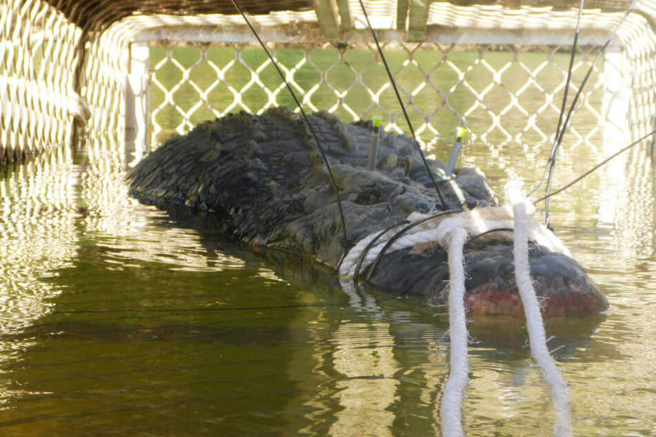 Dieses Foto zeigt ein 4,7 Meter langes und rund 600 Kilogram schweres Krokodil, das im Katherine River gefangen wurde.