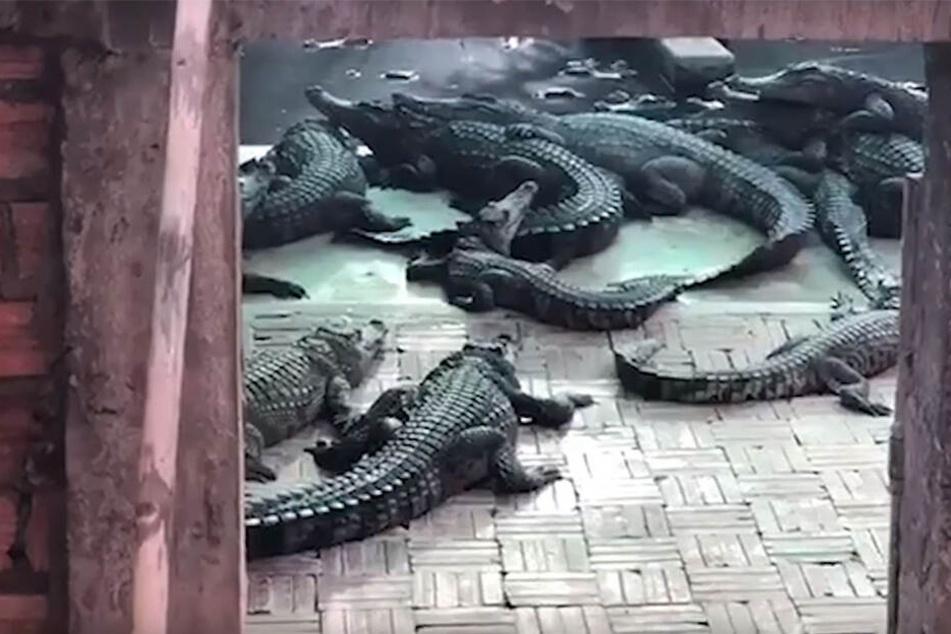 Die Krokodile fraßen das Mädchen (†2) bei lebendigem Leib.