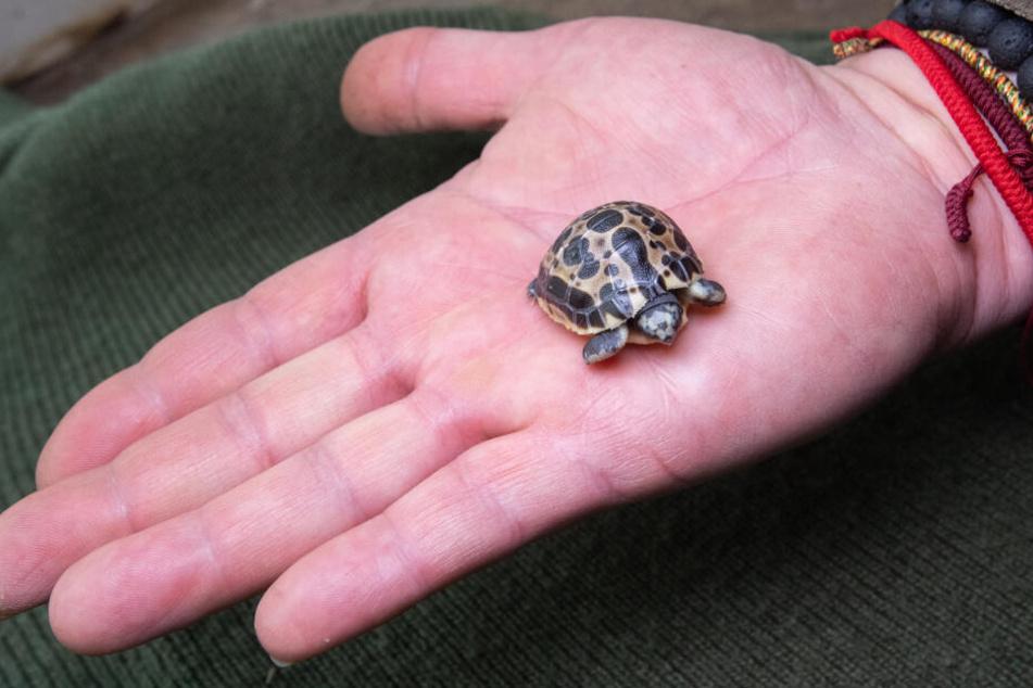 Die kleine Schildkröte war beim Schlüpfen nur so lang wie ein Gummibärchen.