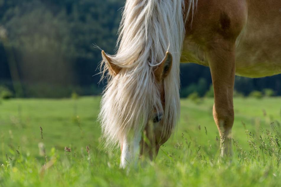 Der Tierarzt vermutet, dass das Pferd vergiftet worden sein könnte. (Symbolbild)