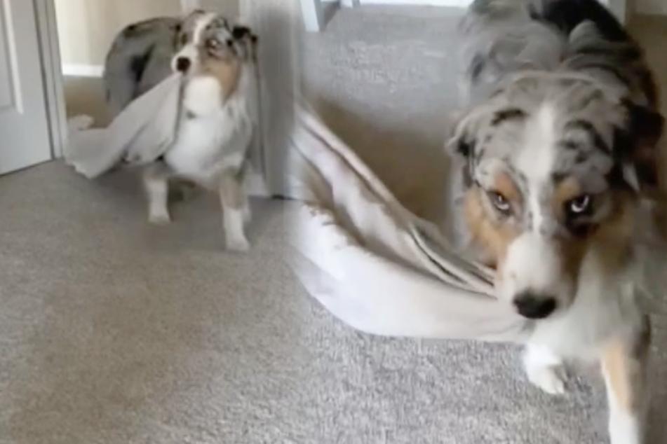 Frauchen muss zu Hause arbeiten: So süß buhlt dieser Hund um Aufmerksamkeit