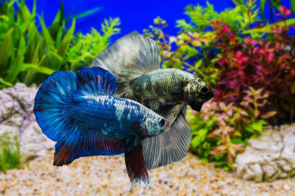 Ein Siamesischer Kampffisch wie dieser fiel dem Ex zum Opfer. (Symbolbild)