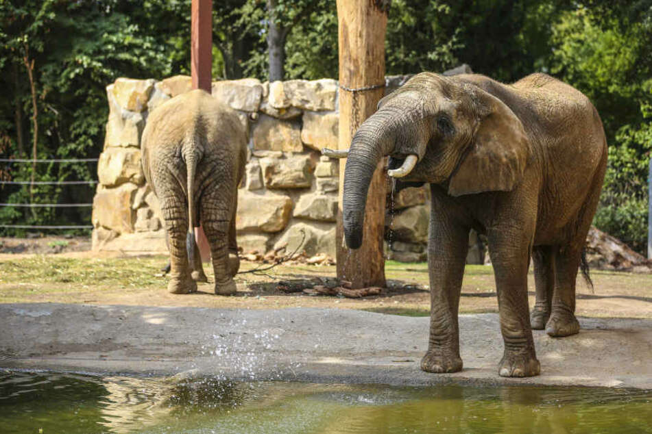 Die Dresdner Elefanten bekommen bald Besuch aus der Hauptstadt. (Archivbild)