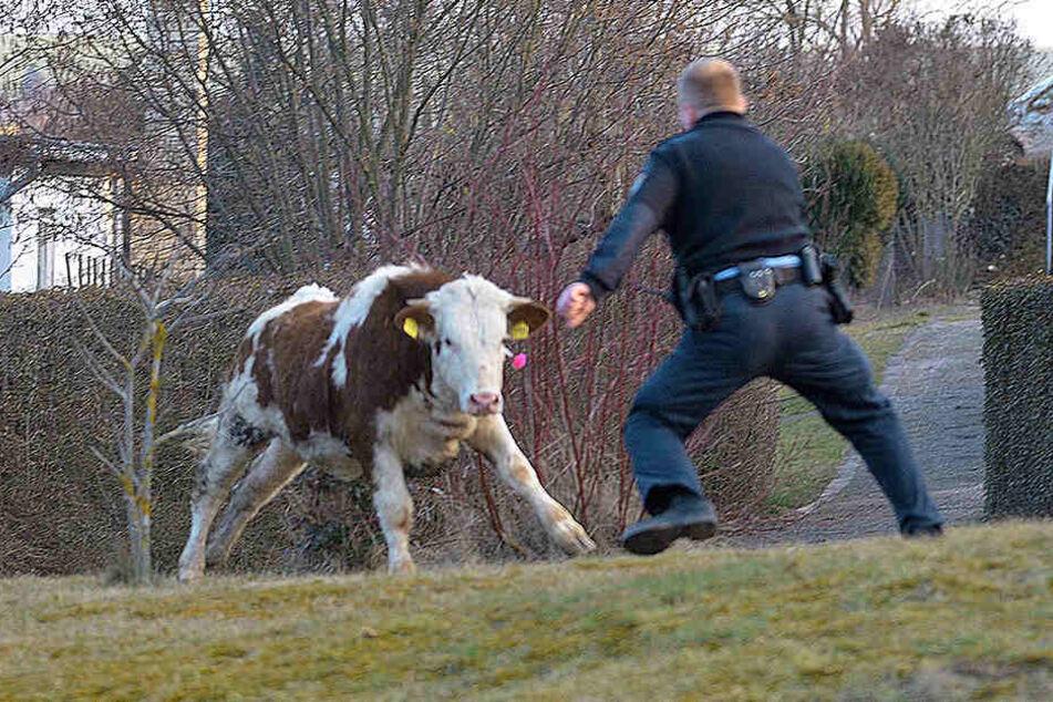 Sieben Stunden lang versuchte die Polizei, die Kuh einzufangen. (Symbolbild)