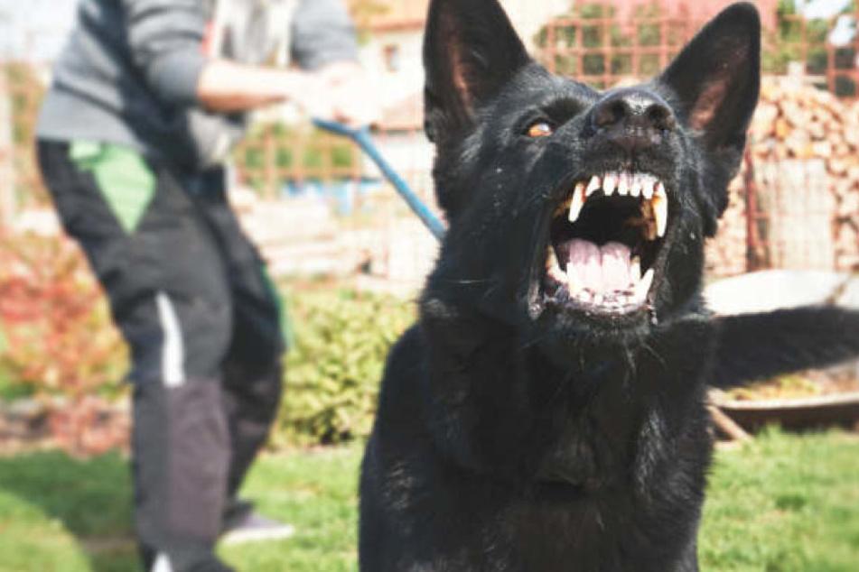 Die Zahl der registrierten Hundebisse in Sachsen-Anhalt ist im letzten Jahr gestiegen. (Symbolbild)