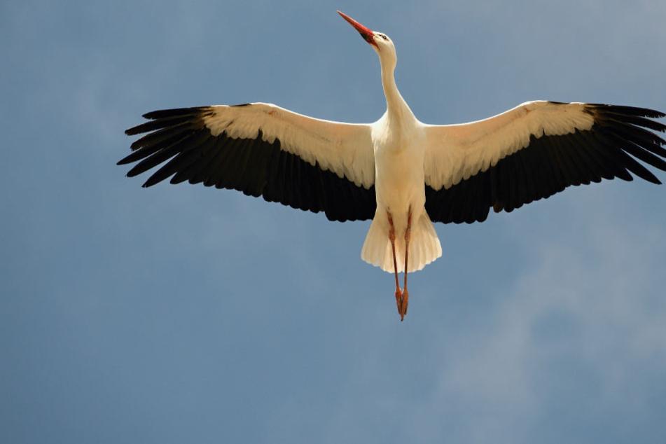 Nach dem Zusammenstoß konnte der Storch unverletzt weiterfliegen (Symbolbild)