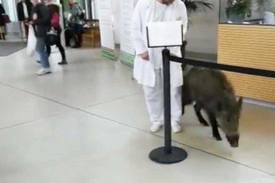 Wildschwein verirrt sich im Krankenhaus und wird erschossen