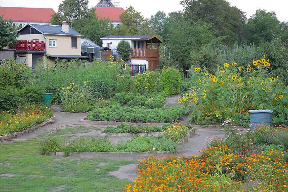 """Die Flächen im Kleingartenverein Ostragehege lagen brach, können darum für das Projekt """"Tafelgärten"""" genutzt werden."""