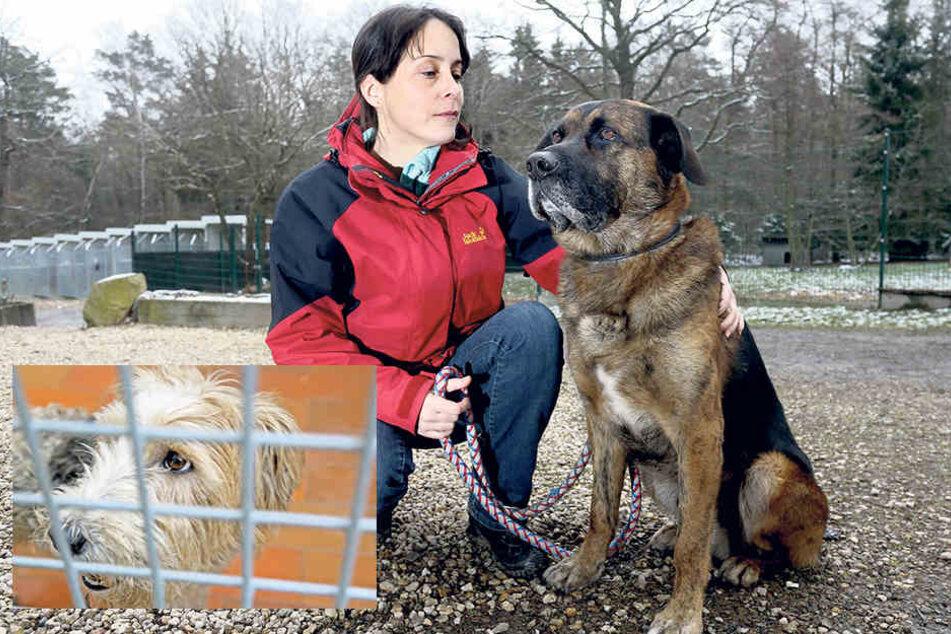 Tierheim-Chefin Claudia Ruf (43)  ärgert sich über die neuen Anschuldigungen, die gegen das Tierheim aufgetaucht sind.Foxterrierhündin Nelly weckte das Interesse zweier Damen aus Torgau.