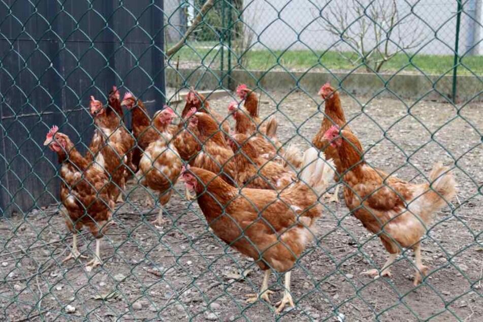 Zwei Hühner ergaunerte der Täter und nahm diese mit nach Hause. (Symbolbild)