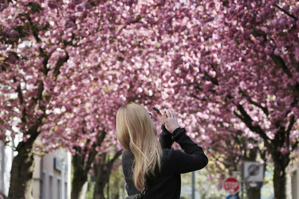 Die Kirschblüte in Bonn, hier im Jahr 2020, zieht viele Besucher an.