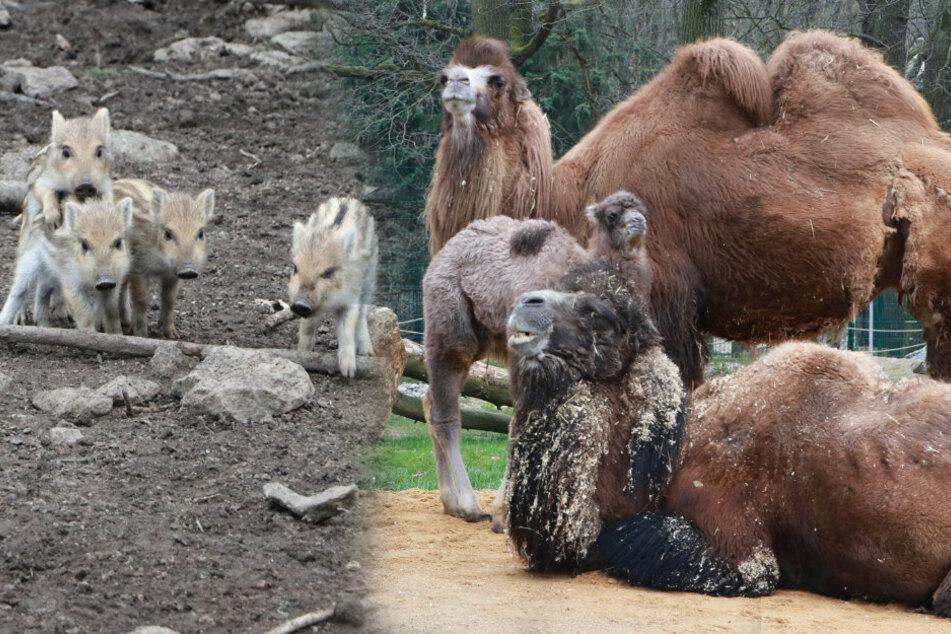 Chemnitz: Süßer Nachwuchs in Tierpark und Wildgatter