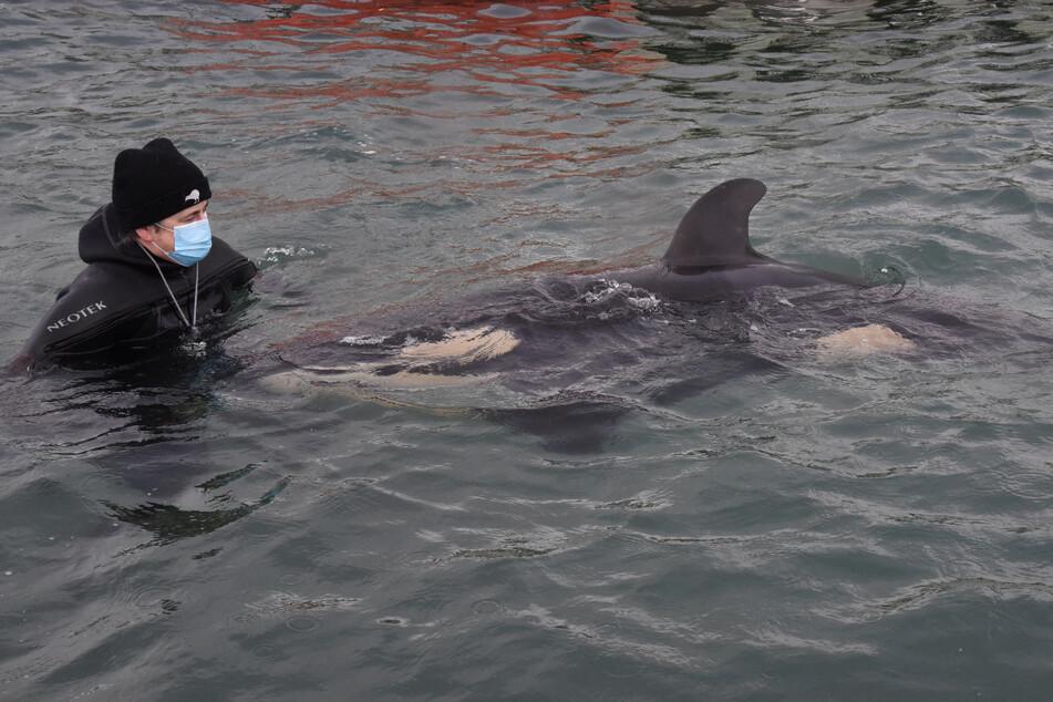 Ein freiwilliger Helfer kümmert sich um das Orca-Baby, das vor Neuseeland gestrandet ist.