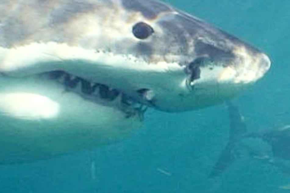 Der Weiße Hai streifte ihr Boot, am Ende kletterte das Mädchen auf den Körper des Tiers, um sich zu retten.