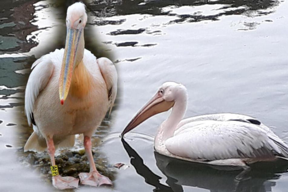 Love-Birds? Isar-Pelikan bekommt Gesellschaft aus Hellabrunn