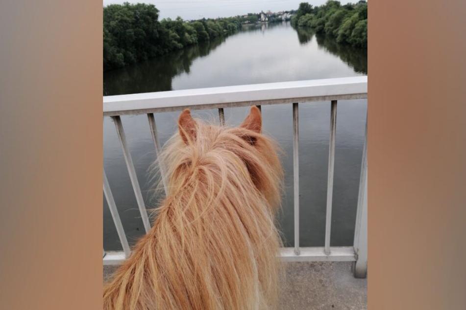 """Der Bliick von Shetlandpony """"Löwenherz"""" schweift über die Mainbrücke hinweg."""
