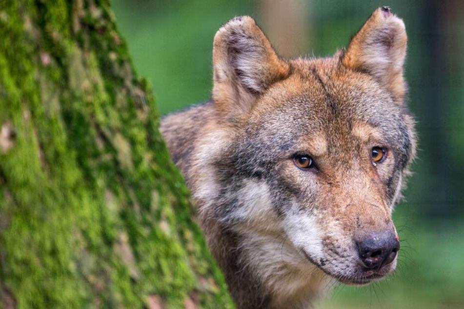 Ein Wolf treibt in Zeetze sein Unwesen.(Symbolbild)