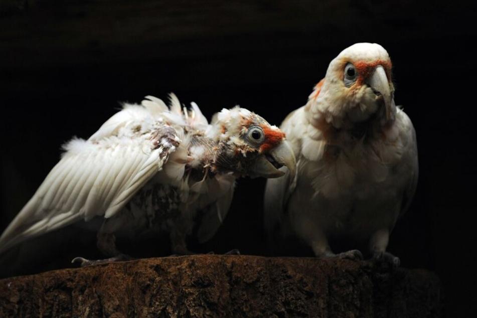 Die seltenen Nasen-Kakadus waren auch unter den Opfern.