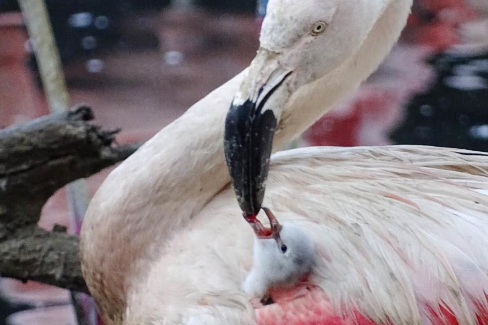 Kopf aus dem flauschigen Gefieder gestreckt und zugebissen: in der Flamingo-Lagune wird ein Kücken gefüttert.
