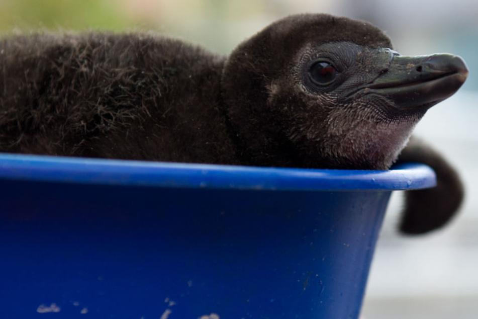 Das knuffige Ergebnis: Noch sitzt der Baby-Pinguin in seinem Nistkasten (Symbolfoto).