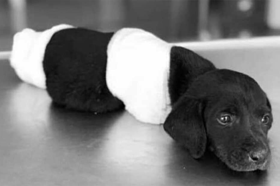 Tierärzte versuchten den Welpen noch zu retten, doch zwei Tage später starb er.