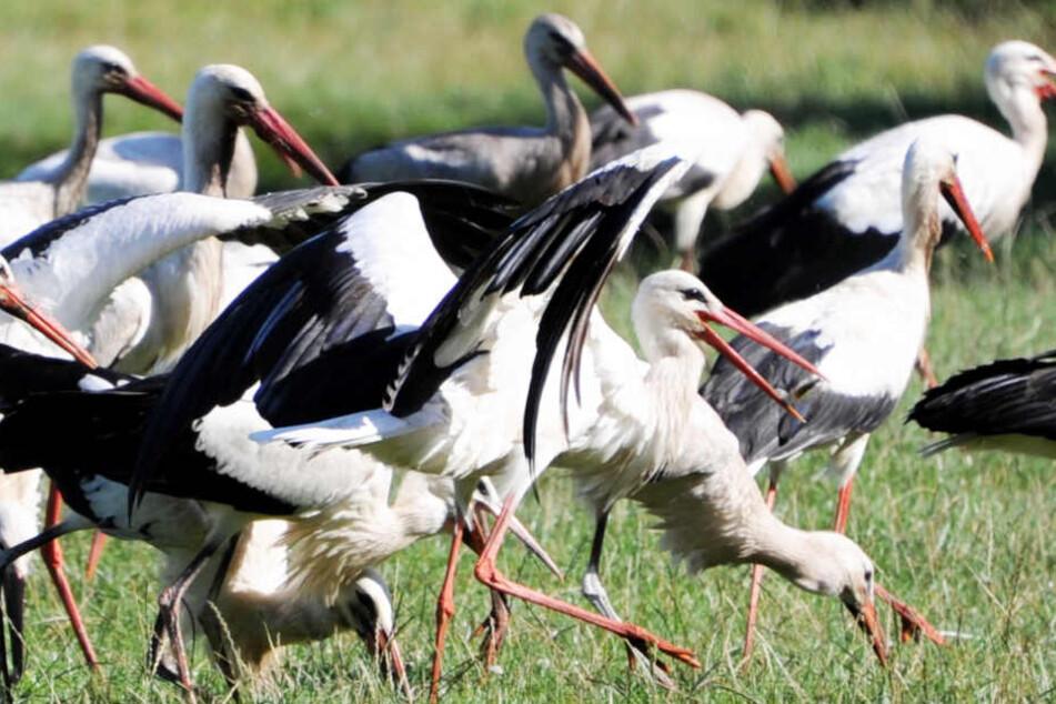 Klapperstörche trotzen der Dürre: Viele Jungvögel aufgezogen