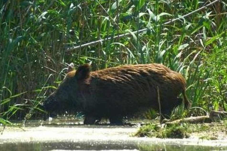 Swino randalierte erst auf einem Campingplatz, badete dann im Fluss und schlief anschließend unter einem Baum ein.