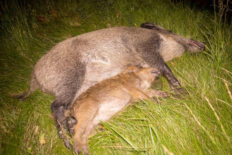 Insgesamt starben sieben Wildschweine.