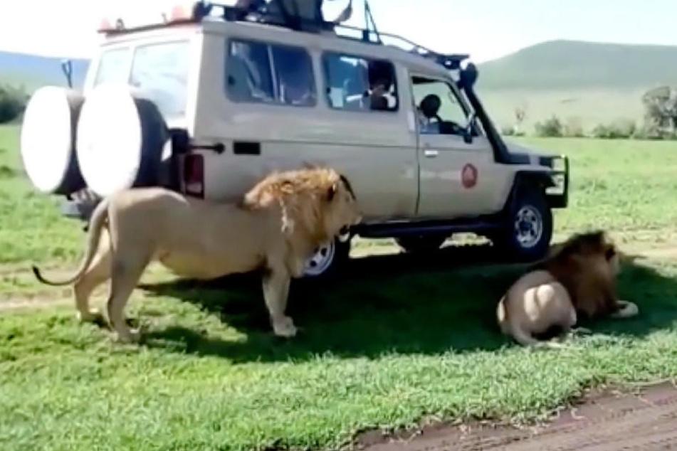 Die Tiere suchten im Schatten des Wagens ein ruhiges Plätzchen.