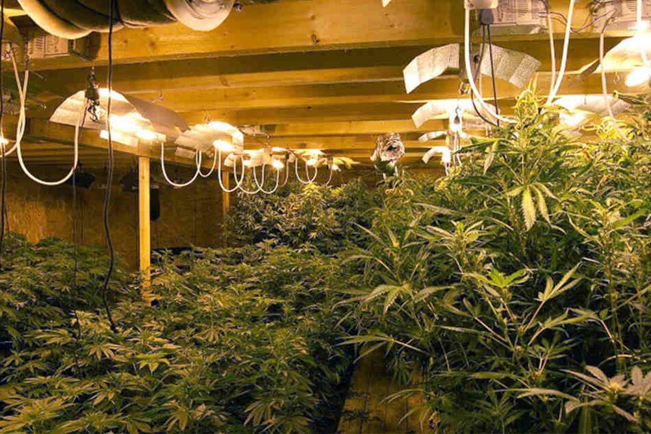 Die Indoor-Plantage in Lemgo war ein riesiger Fahndungserfolg für die Beamten.