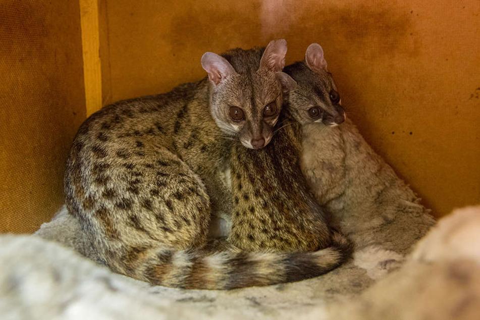 Dem Zoo der Minis ist die Zucht der Zwerg-Ginsterkatzen gelungen.