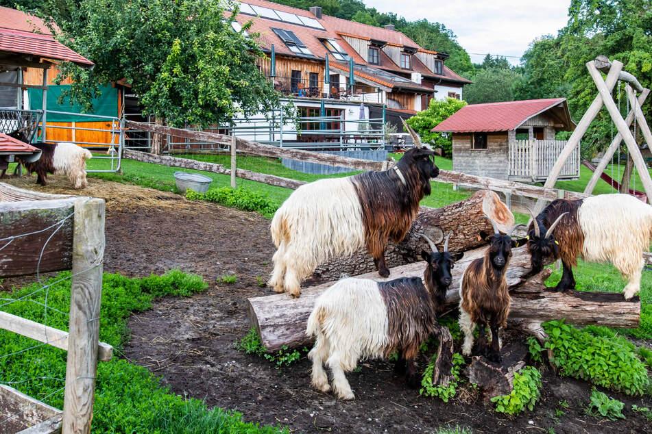 Große Nachfrage in Sachen Urlaub auf dem Bauernhof. Im Bild: Ziegen eines Hofes im baden-württembergischen Radolfzell.
