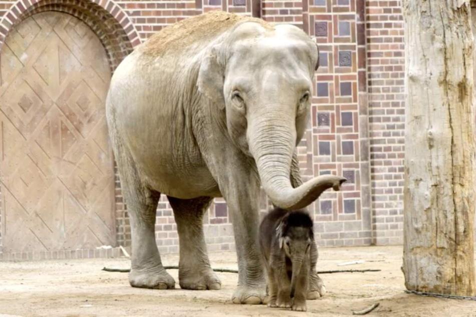 Mit Tante Don Chung (36) erkundet der kleine Elefantenbulle zweimal täglich die Außenanlage.