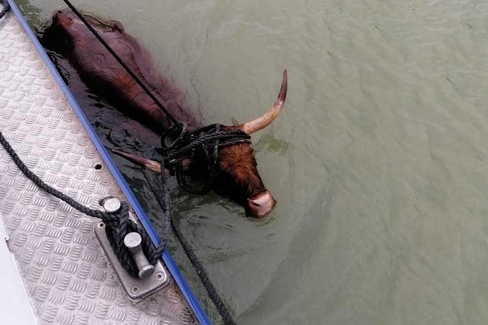 Das Rind war zuvor aus seiner Herde ausgebrochen und in Richtung Kanal gelaufen.