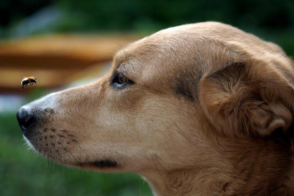 Wenn Hunde Brummer jagen, kann es gefährlich werden.