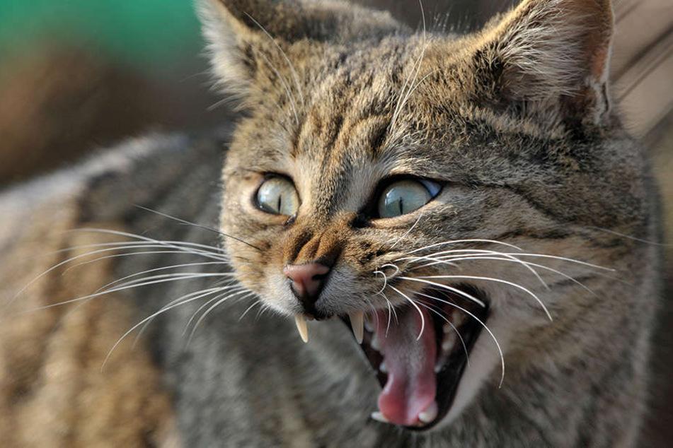 Wildkatzen sind von gewöhnlichen Hauskatzen gar nicht so leicht zu unterscheiden.