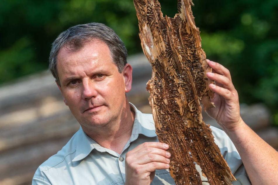 Schlimmste Schäden seit Zweitem Weltkrieg: Thomas Rother (46) vom Sachsenforst zeigt befallenes Holz.