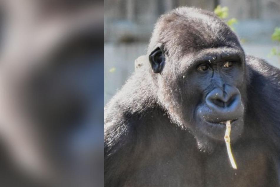 Weil Zoff mit den Eltern droht: Gorilla muss aus dem Zoo raus