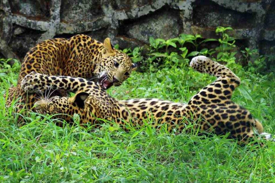 Auf der Welt gibt es nur noch rund 500 China-Leoparden.
