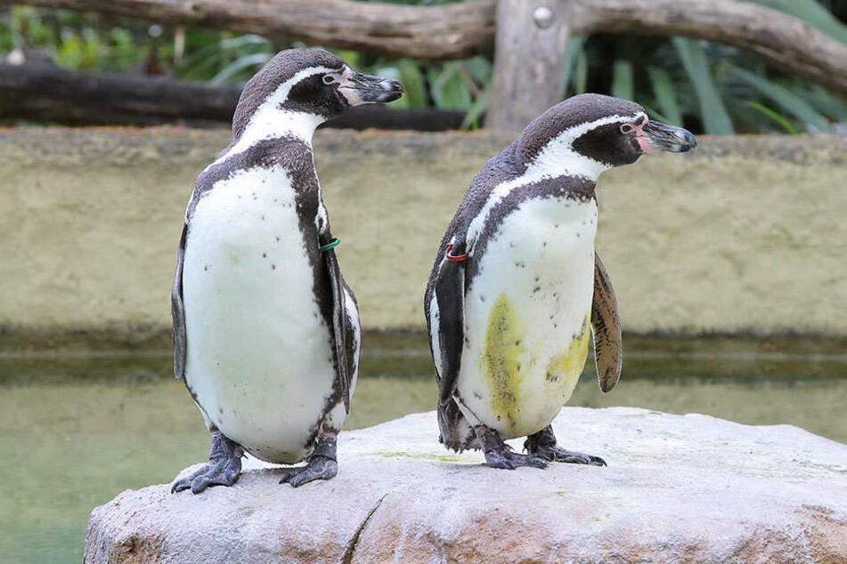 Wie niedlich! So schön war der Pinguin-Tag im Zoo