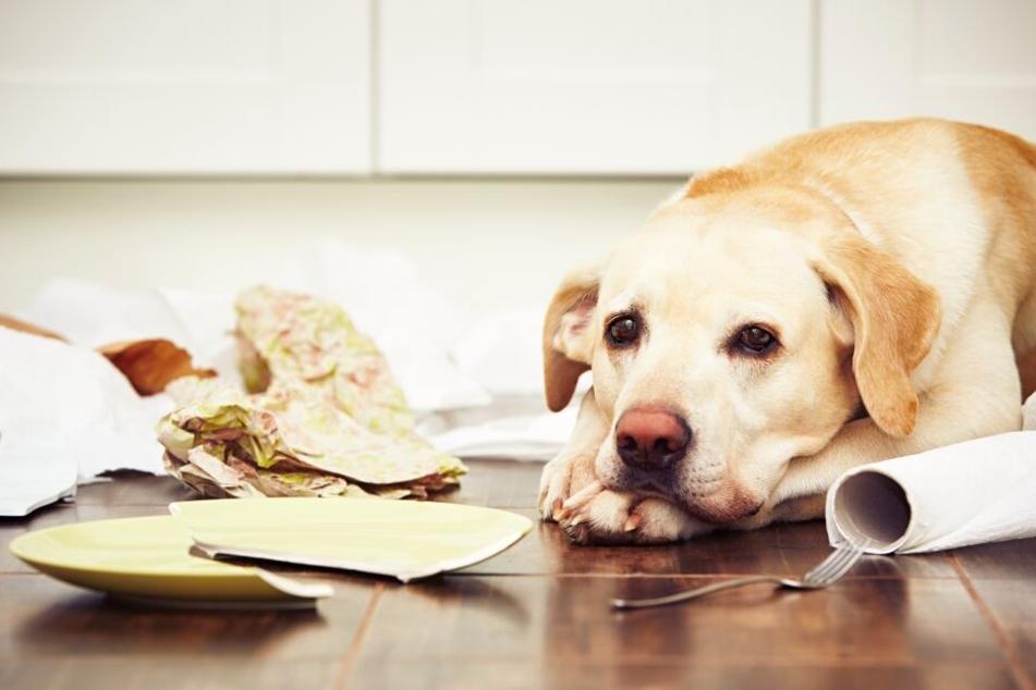 Manche Hunde zerlegen aus Frust die gesamte Inneneinrichtung, wenn sie alleine gelassen werden. (Symbolbild)