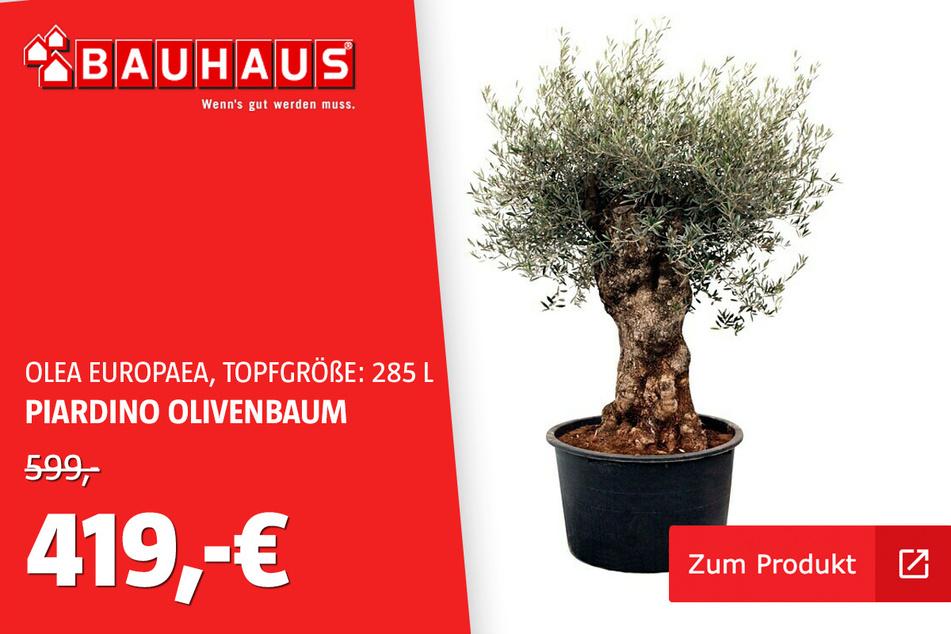 Olivenbaum 285 L für 419 statt 599 Euro