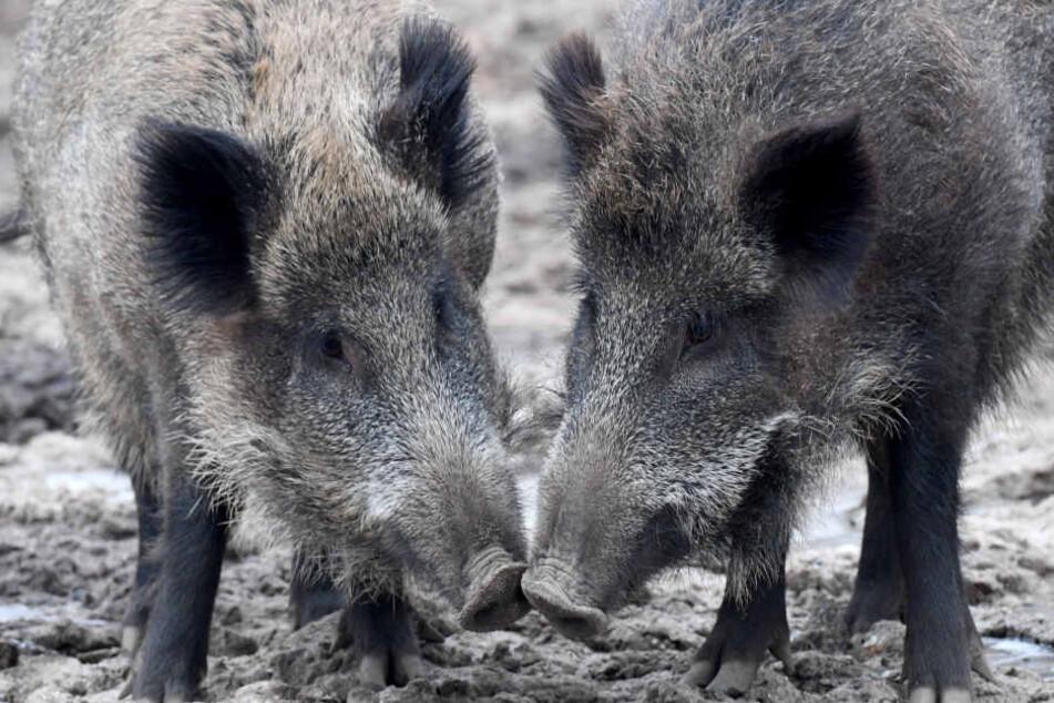 Bei Wildschweinen endet die Afrikanische Schweinepest fast immer tödlich. (Symbolbild)
