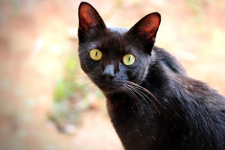 Schwarze katze graben