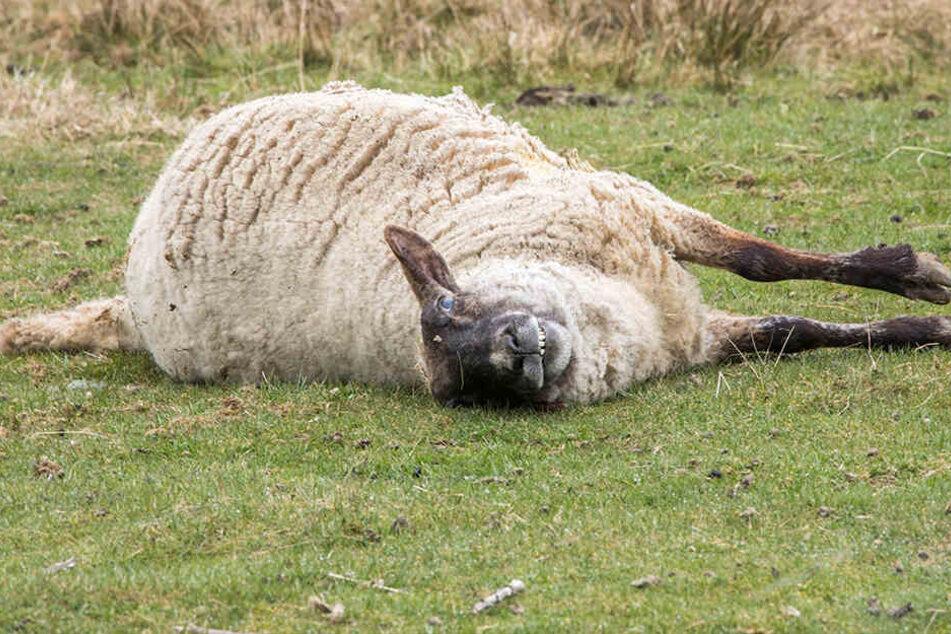 Insgesamt kamen sechs Schafe bei dem Angriff oder in dessen Folge ums Leben.
