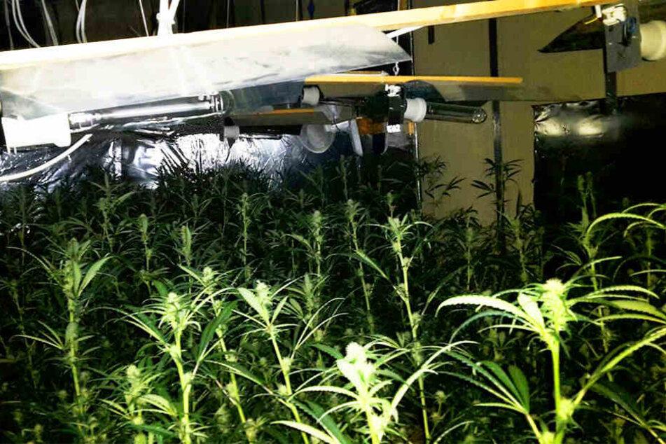 Die Plantage umfasste insgesamt 588 Pflanzen. Außerdem wurde jede Menge geerntetes Cannabis gefunden.