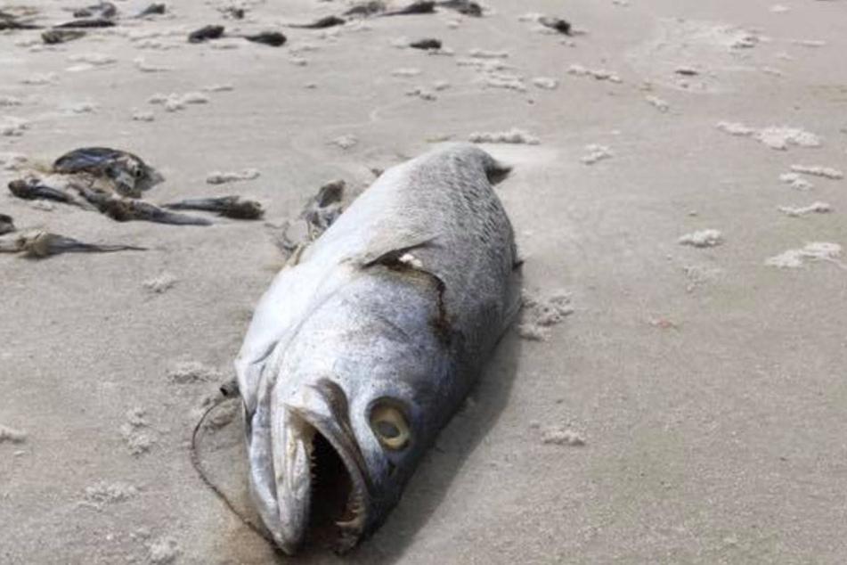 Es wird angenommen, dass die Kombination aus Küstenverschmutzung und nährstoffbeladenem Wasser zur Katastrophe führt.