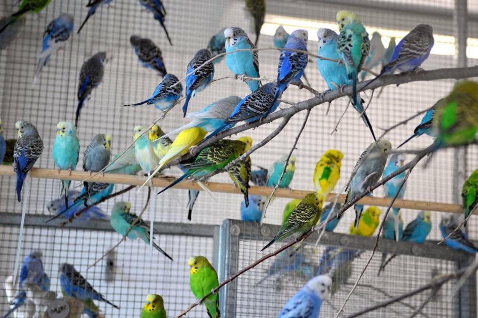Zahlreiche Wellensittiche sitzen in einer Voliere im Tierheim. In einer Wohnung in Friedrichshain-Kreuzberg wurden bei einem Einsatz 2018 unter anderem 215 Kanarienvögel beschlagnahmt. (Symbolfoto)