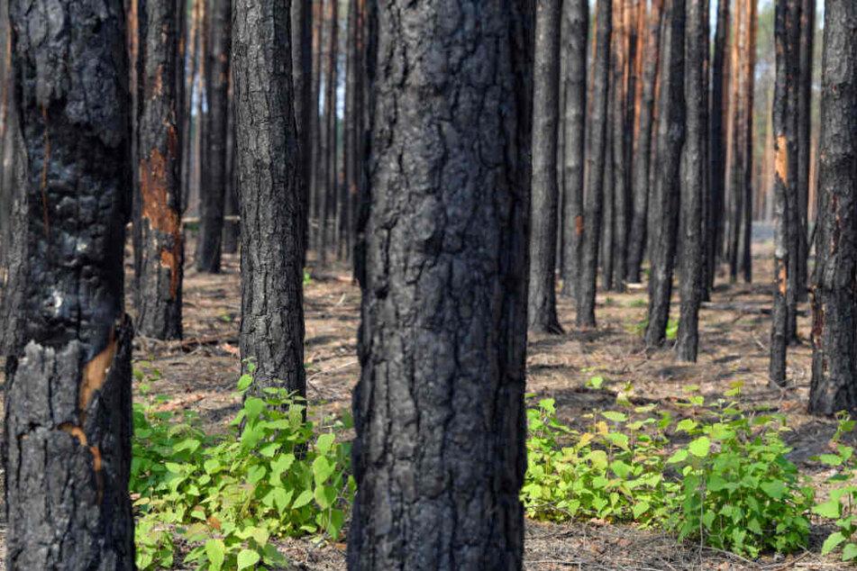 In einem Wald in Brandenburg ist ein menschliches Skelett gefunden worden. (Archivbild)