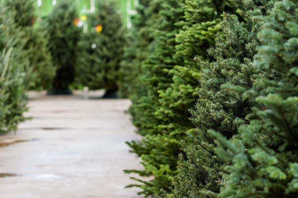 Jedes Jahr würden Weihnachtsbaum-Anbauer über den richtigen Umgang mit Pestiziden informiert.